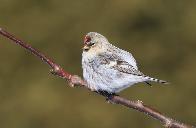 Hoary redpoll  /  Sizerin blanchâtre ( Diane )