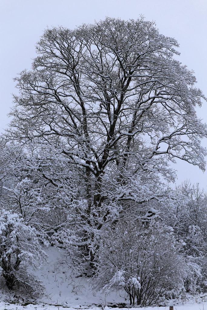 Arbre nu habillé de neige