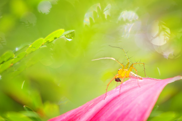 Oxyopes spider | 斜紋貓蛛