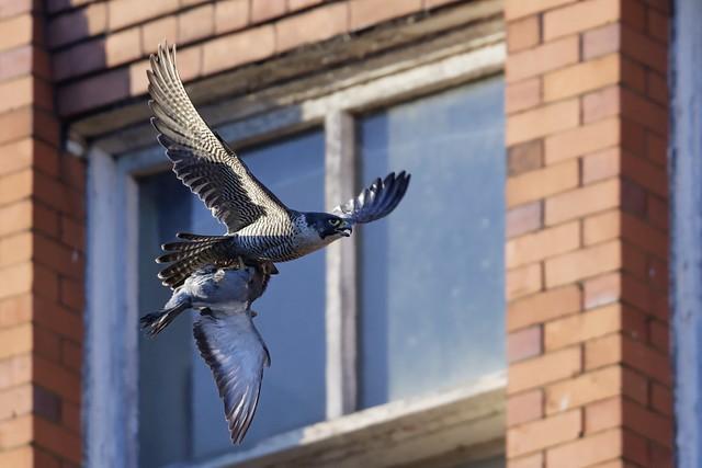 Peregrine Falcon,female with prey