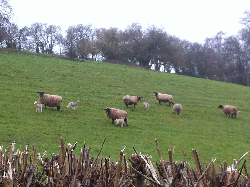 Lambs - alphabetically paired...