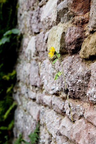 Resilient flower growing in a stone wall. From Through the Eyes of an Educator: Changing of the Guard