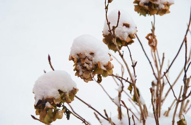 Munich - Snow Capped Hydrangeas