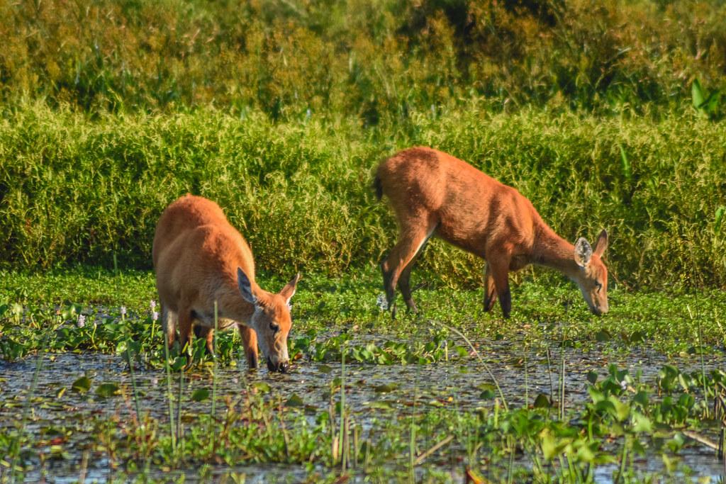 Ciervo de los pantanos: pastando en las costas de la Laguna Iberá