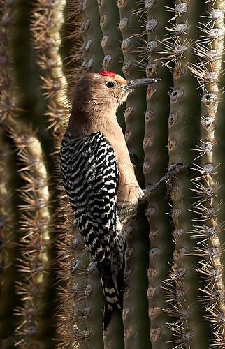 phainopepla squirrel woodpecker harrisshawk mountainbluebird scenicnature landscapes mountains nature bird birds