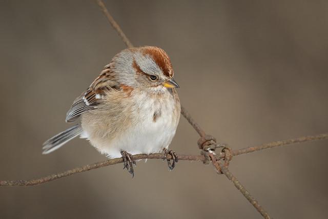 American Tree Sparrow   Spizelloides arborea   Bruant hudsonien