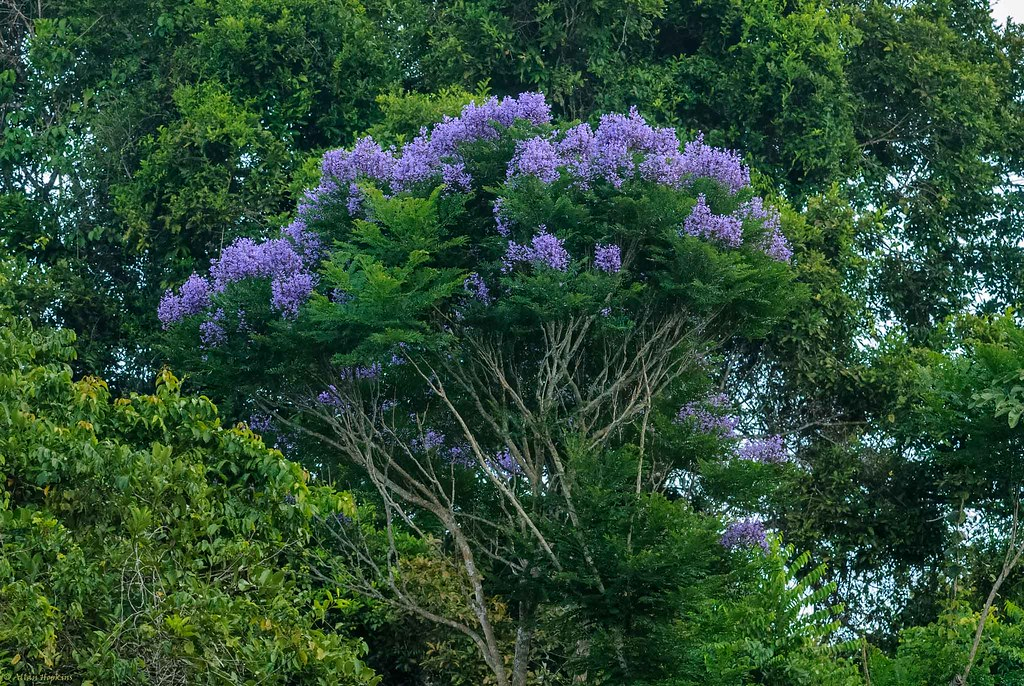 Jacaranda (Jacaranda obtusifolia rhombifolia)