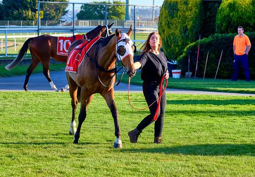 luminosity7 nikond850 launceston tasmania australia mowbrayracecourse horses horseracing thoroughbredhorseracing shallwedance colour sunsetlight shadows colours