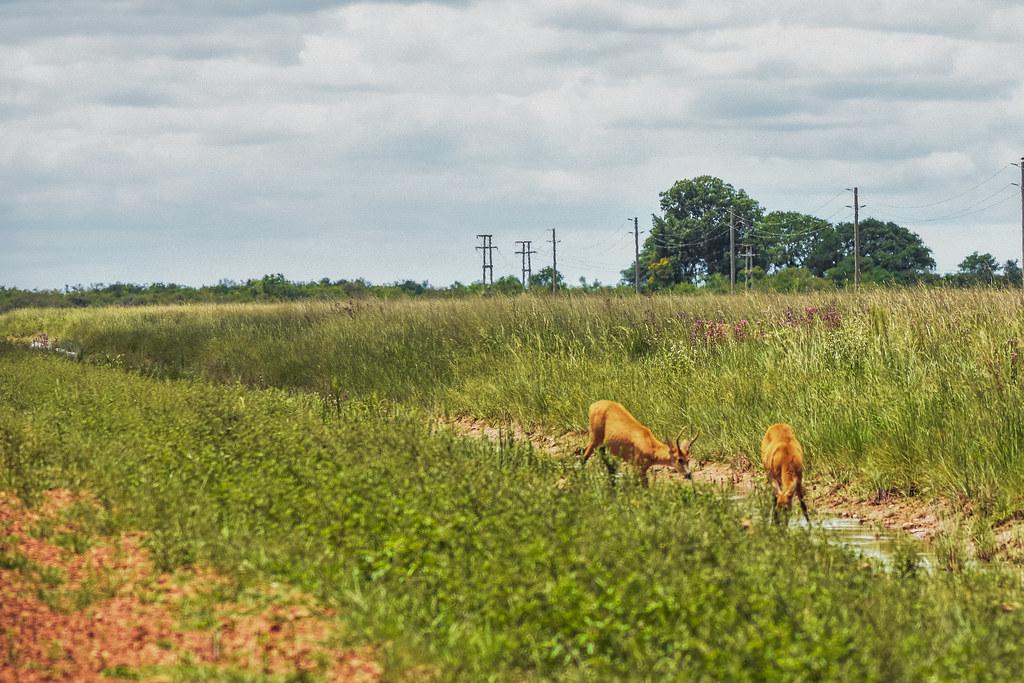 Ciervo de los pantanos: bebiendo en los canales del acceso a Cna Carlos Pellegrini