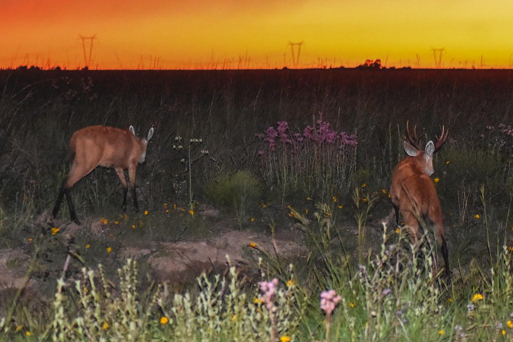 Ciervo de los pantanos: ingresando a los pastizales por la noche