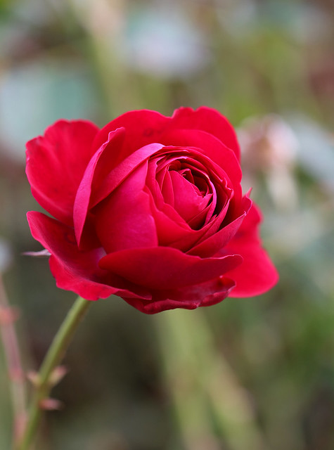 Bourdeaux Rose