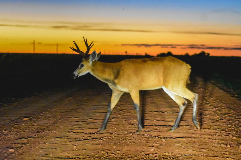 Ciervo de los pantanos: Cruzando el camino de acceso cuando cae el sol