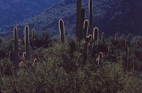 Saguaros (3)