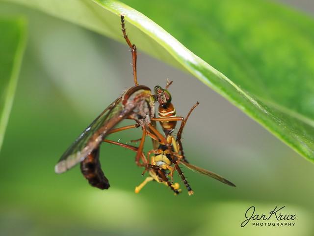 Wasp With Prey