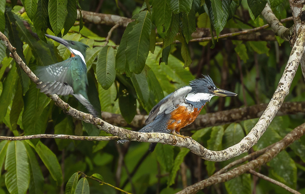 Amazon kingfisher / Kambþyrill (Chloroceryle amazona) and (Ringed kingfisher / Baugþyrill (Megaceryle torquata)