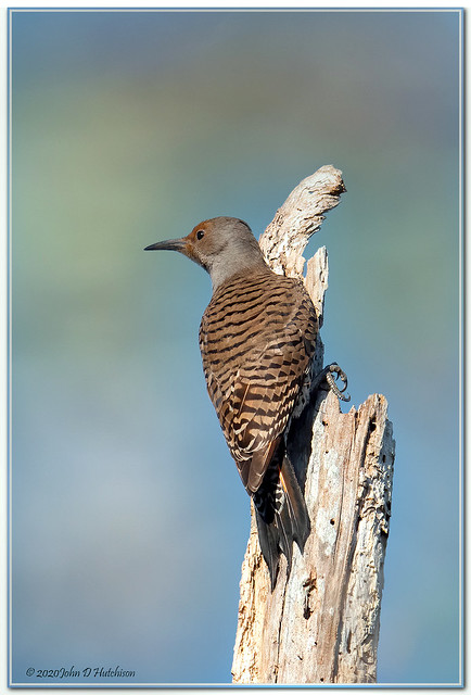 Northern Flicker ( Red Shafted ) juvi