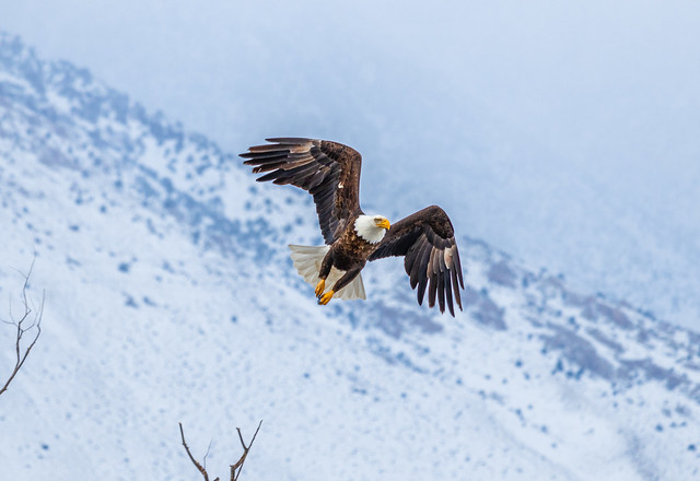 Bald Eagle (Haliaeetus leucocephalus) Take Off
