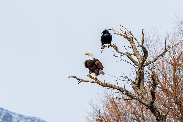 Bald Eagle (Haliaeetus leucocephalu) & His Crow Friend