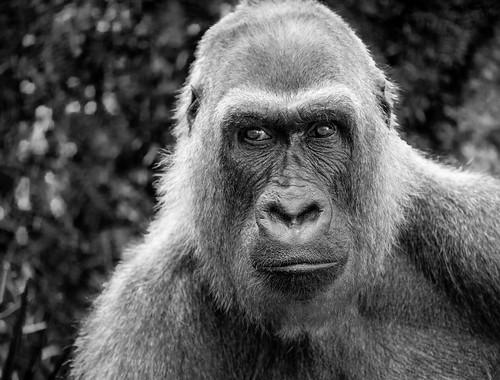 socal lazoo westernlowlandgorilla gorilla sonyα7riii losangeles animals sonysel100400gmfe100400mmf4556gmoss blackandwhite a7r a7riii alpha ilce7rm3 sel100400gm sony sonyalpha southerncalifornia ape mammal primate supertelephoto telephoto zoo zoom california unitedstates