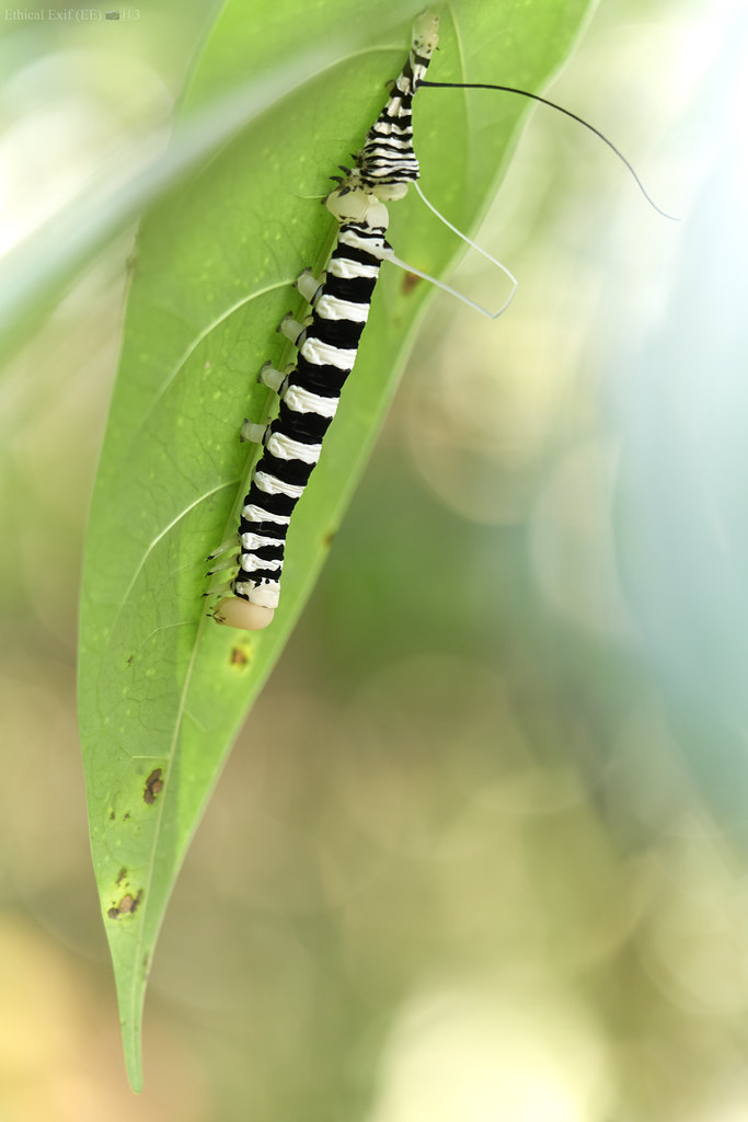Aposematic sphingid caterpillar moulting