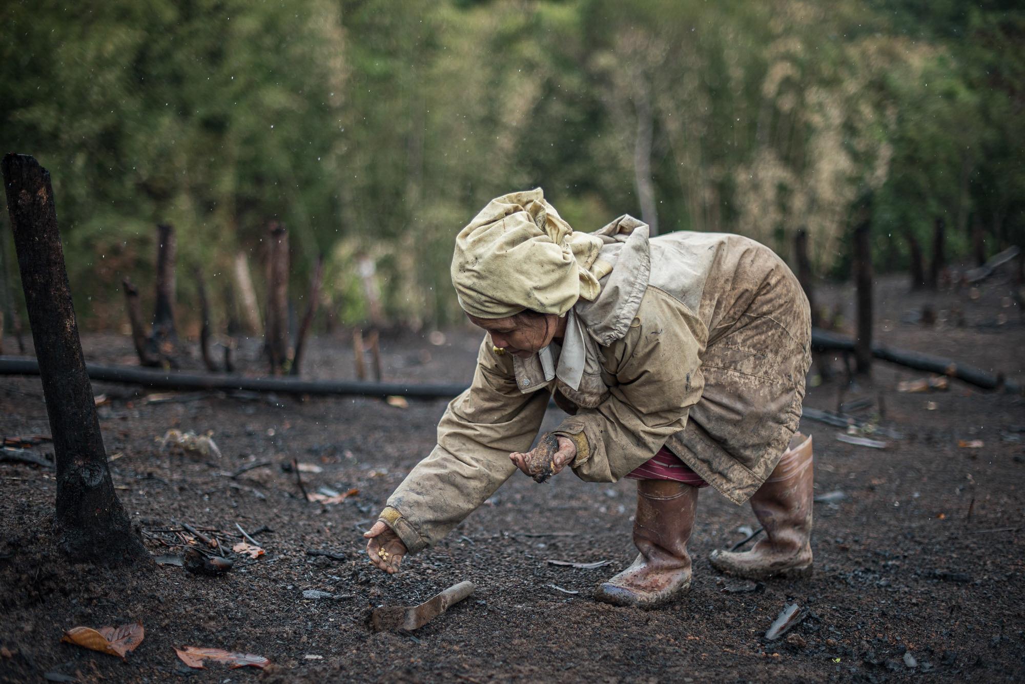 ชาวบ้านกำลังหยอดเมล็ดข้าวไร่กลางสายฝน เพราะการเผาที่ล่าช้าทำให้ฝนแรกตกลงมาเสียก่อนที่การหว่านเมล็ดพันธ์จะเสร็จเรียบร้อย (ที่มา: ยศธร ไตรยศ)
