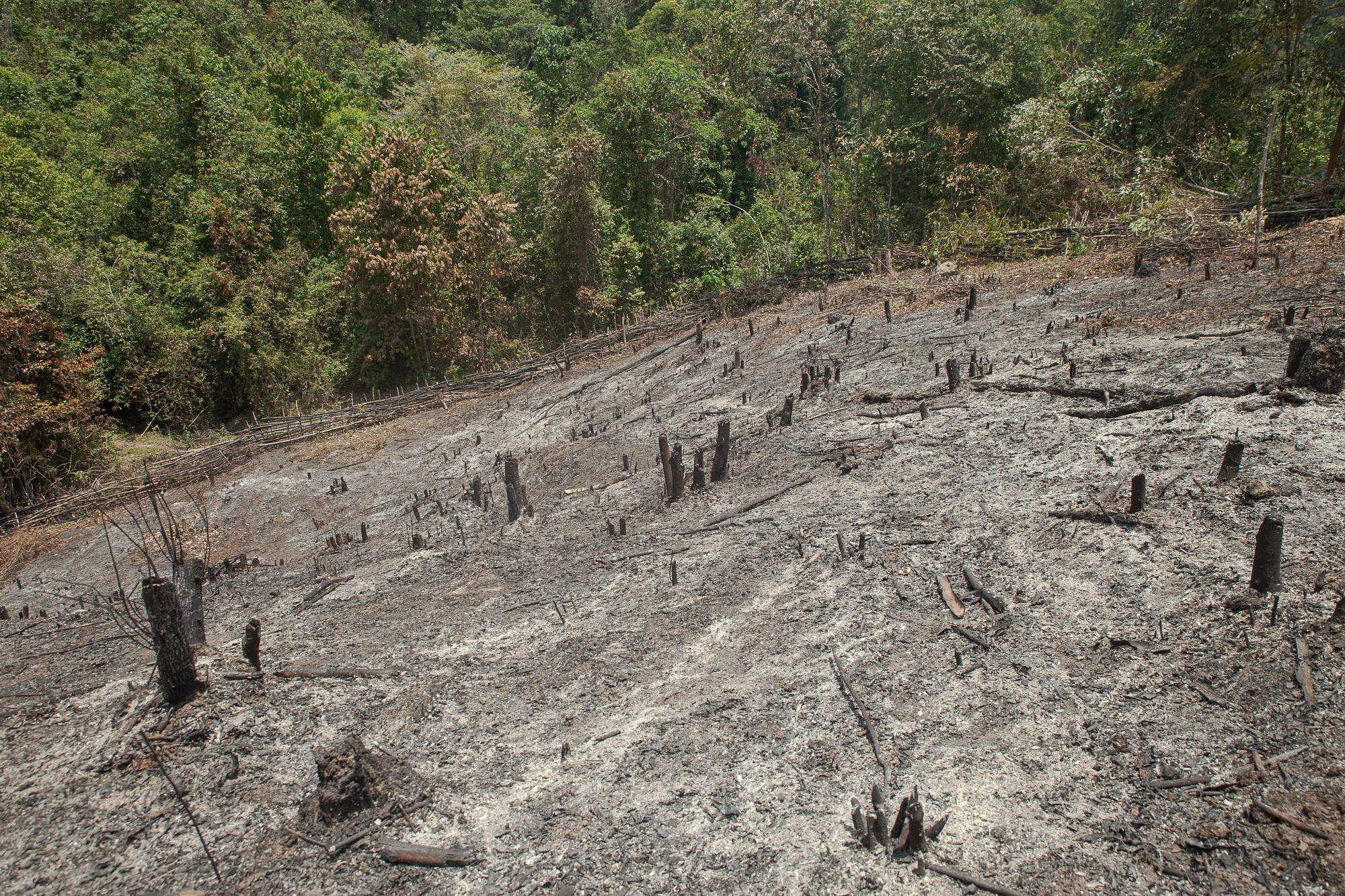 อาณาเขตของพื้นที่ไร่หมุนเวียนที่อยู่ติดกับพื้นที่ไร่เหล่า ซึ่งไรเหล่าที่มีอายุ 5-7 ปีจะมีสภาพใกล้เคียงกับป่าธรรมชาติ มีเพียงชาวบ้านในพื้นที่ที่จะสามรถบอกอายุของไร่เหล่าแต่ละปีได้อย่างถูกต้อง ภาพถ่ายเมื่อ 8 พ.ค. 63 (ที่มา: ณัฐชานันท์ กล้าหาญ)