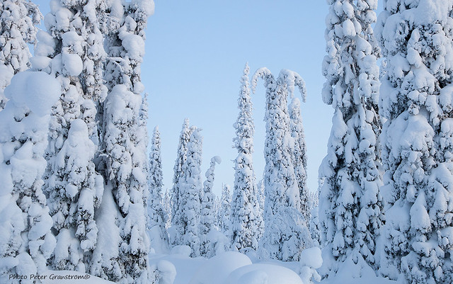 Snow covered fir trees!
