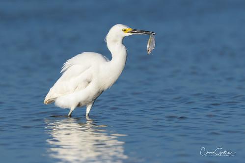 bunchebeach egret snowyegret fish water blue bird avian wadingbird wildlife nature animal nikon d850