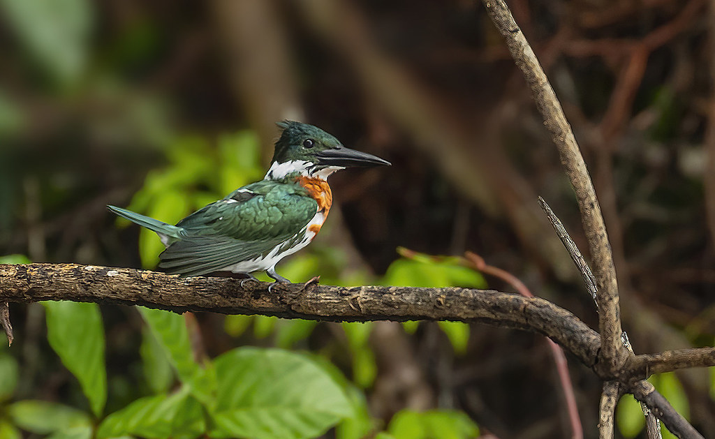 Amazon kingfisher / Kambþyrill (Chloroceryle amazona)