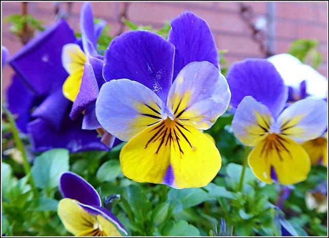 Viola Flowers ..
