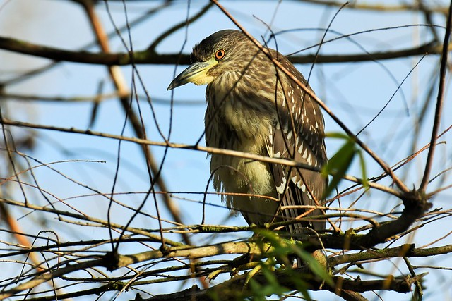 Bihoreau gris immature - Nycticorax nycticorax - Immature black-crowned night heron