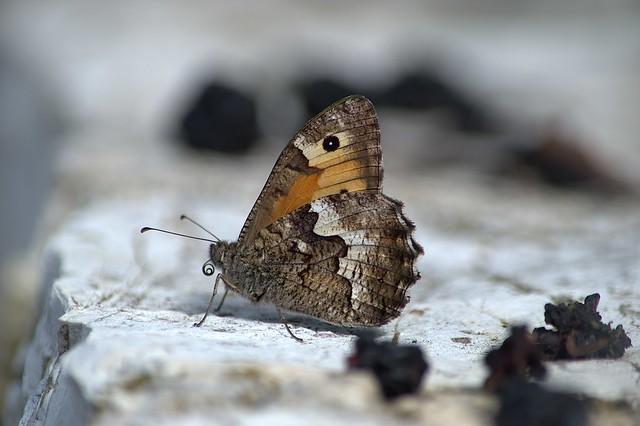 Grayling sp. (Hipparchia sp.)