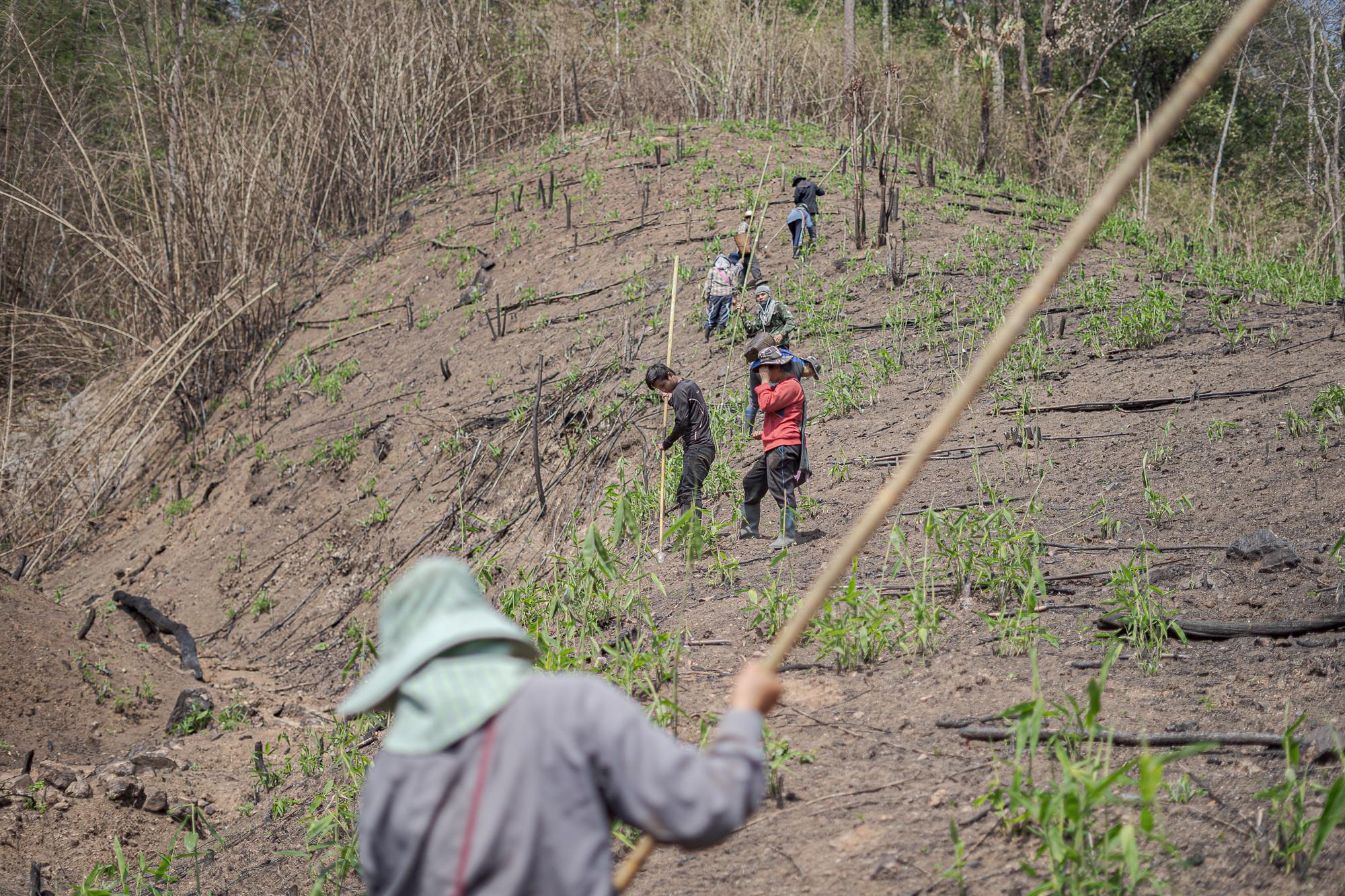 ชาวบ้านกำลังช่วยกันเตรียมพื้นไร่หมุนเวียนเพื่อทำการเพาะปลูกก่อนเข้าฤดูฝนอย่างเป็นทางการ โดยการลงแขกสลับหมุนเวียนกันไปในไร่ของแต่ละครอบครัว ภาพถ่ายเมื่อ 10 พ.ค. 63 (ที่มา: ยศธร ไตรยศ)
