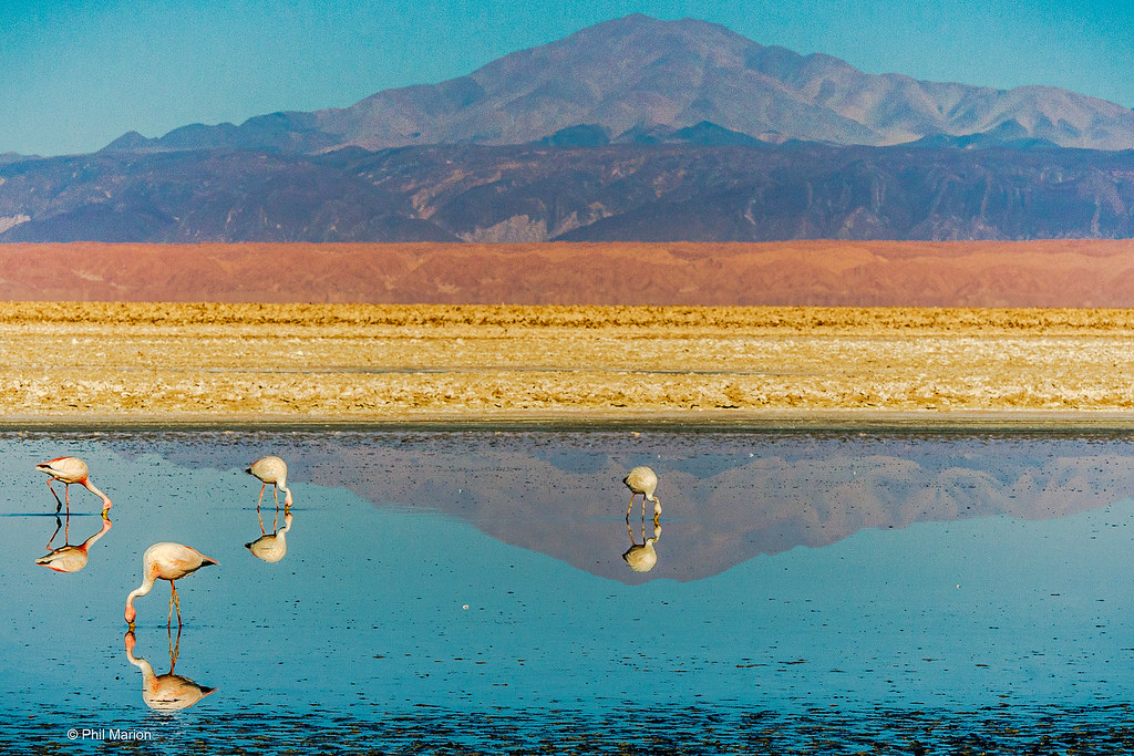 flamingos feeding in Salar de Atacama - Los Flamencos National Reserve, Chile