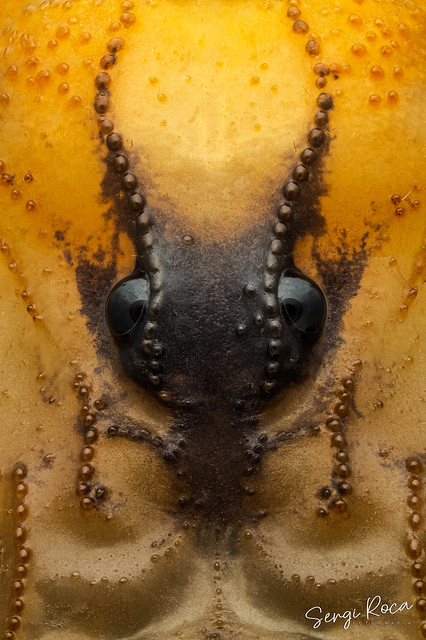 Ojos de escorpión (Buthus occitanus)