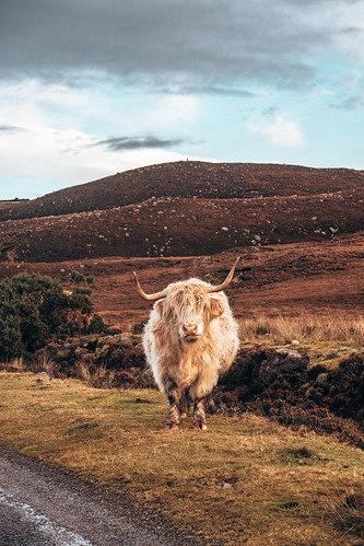 Highland Coo. From The Complete Guide to Vanlife Scotland: Costs, Routes, & Everything Else You Need to Know!