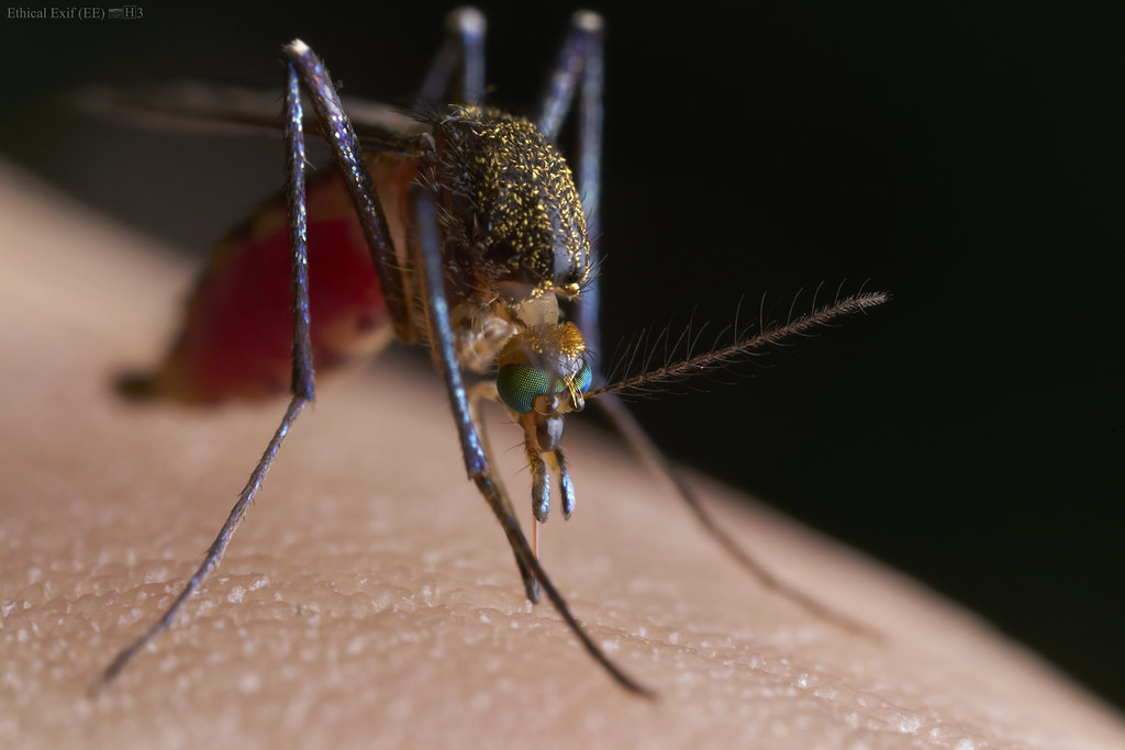 Blood-filled mosquito