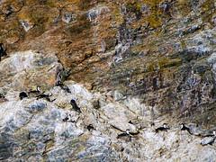 Colonia de cormoranes