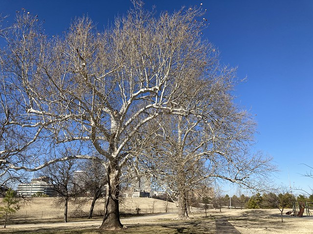 Sycamore Trees at Maple Ridge Park