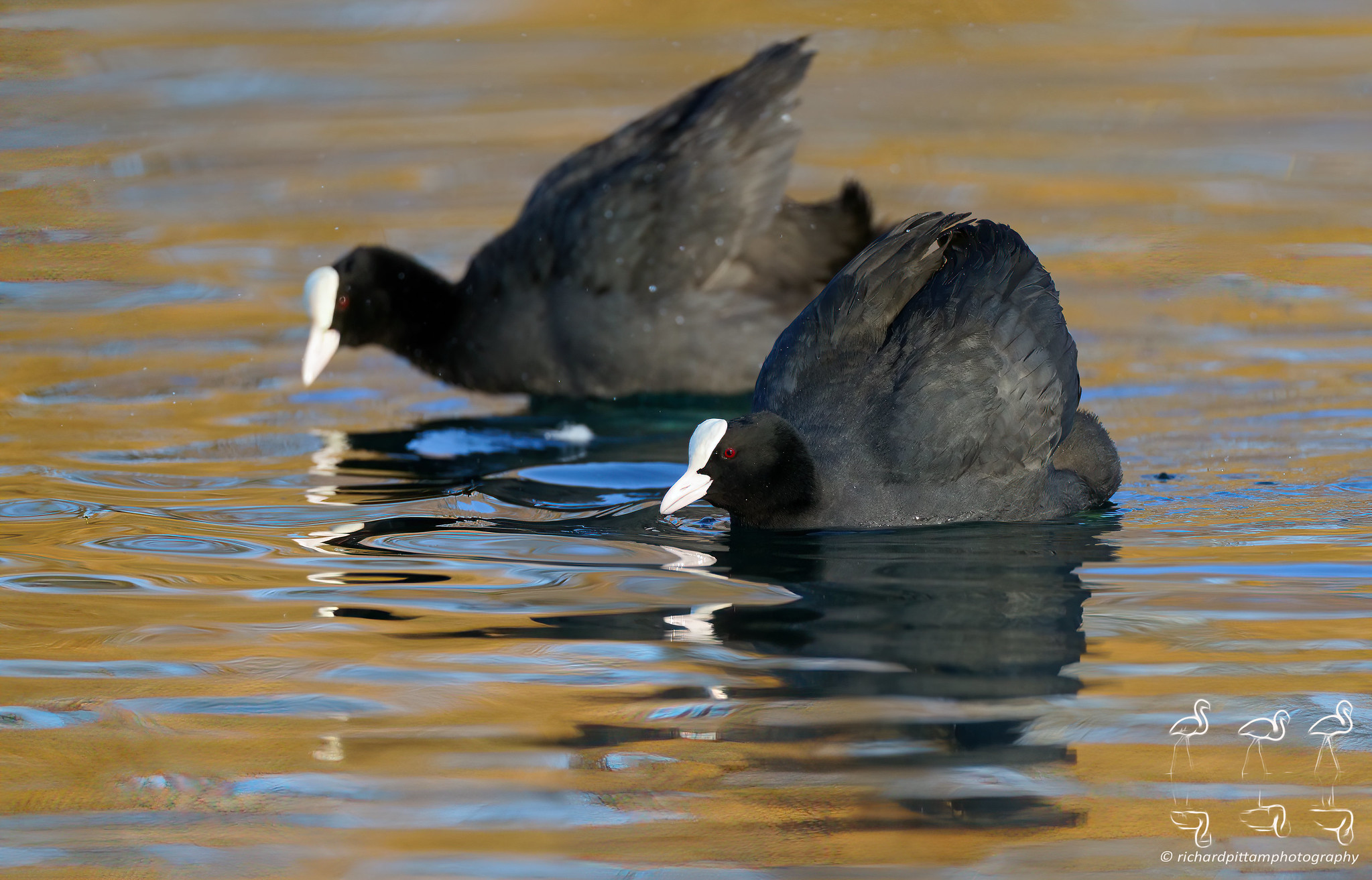 Warring Coots