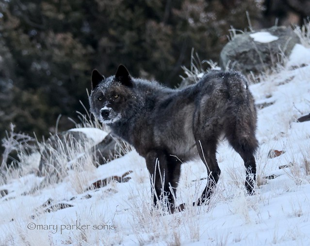 Black wolf (a melanistic color variant of a Gray wolf)