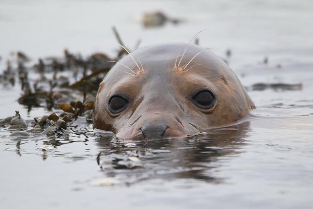 Grey seal on the River Hamble, Hampshire