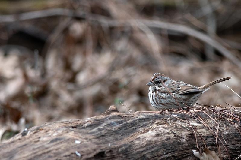 Song Sparrow Hiding Behind a Stick