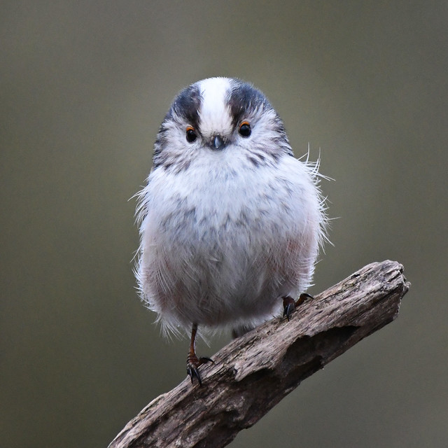 Long Tailed Tit (Accipiter nisus)