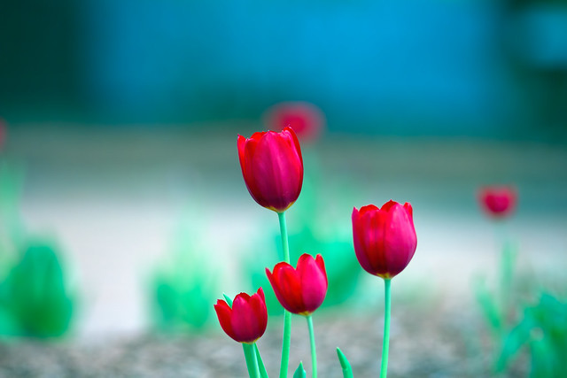 RED TULIPS..