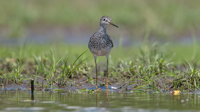 Greater Yellowlegs   9138