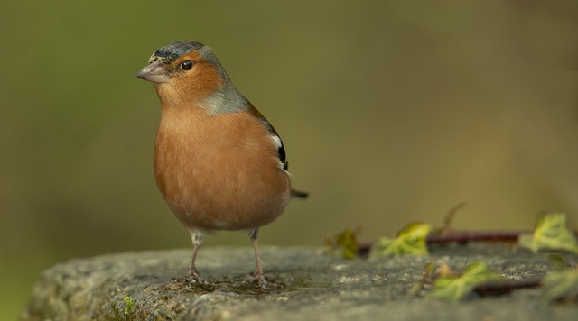 Male Chaffinch: Banks of the Dodder River, Ireland today