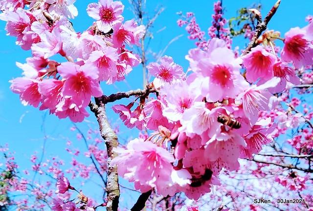 Cherryblossoms at Yang-Ming Mountain, Taipei,Taiwan, SJKen,Jan 30,2021.