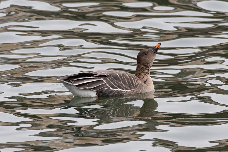 Tundra Bean-Goose swimming