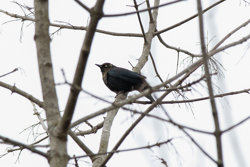 Rusty Blackbird in the Sky